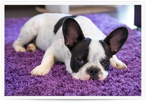 We Can Remove 99% of Pet Urine Odor & Bacteria from Your Carpet
